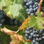 Cura dell'uva